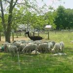 "Brood ewes under a shade tree with ""Buster"", they're protector."